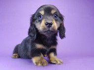 チェルシー & AQUARIONの子犬 ブラックタン 男の子