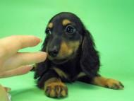 ルヒィ & ジムダンディの子犬 ブラタン 男の子