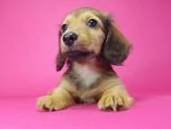 エルナ & オスカルの子犬 シェーデットレッド 女の子