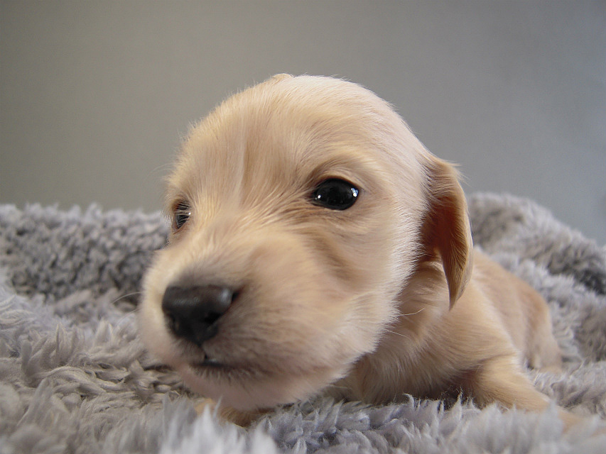 カニヘン子犬 ピュアクリーム女の子