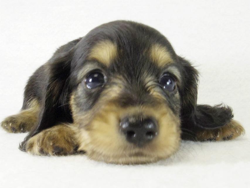 カニンヘンダックス 子犬 ブラクリ男の子