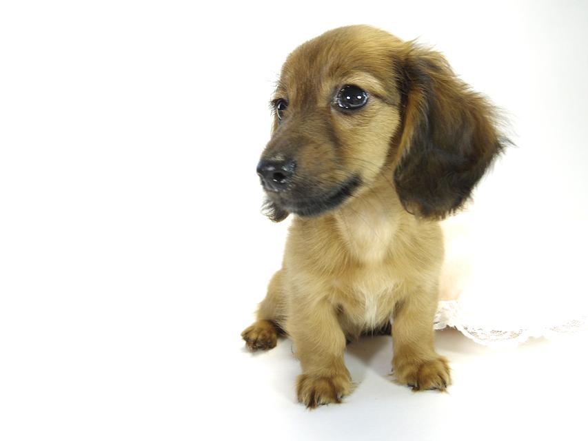 カニンヘン ダックスフンドのアリの子犬 シェーデットレッド 男の子