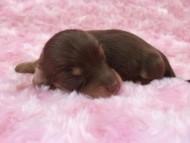 ローラ.miの赤ちゃん チョコクリ女の子 お写真初登場です