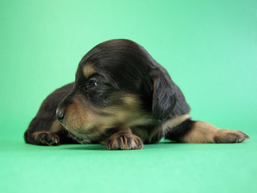 カニヘン子犬 ブラタン女の子 静岡県・K様
