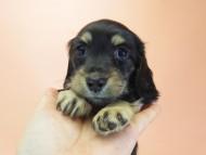 ティンク.hb & 武蔵の子犬 ブラッククリーム 女の子