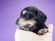 楓 & オスカルの子犬 ブラッククリーム 男の子