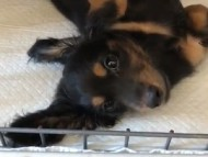 ココ & ジャンの子犬 ブラックタン 男の子 動画