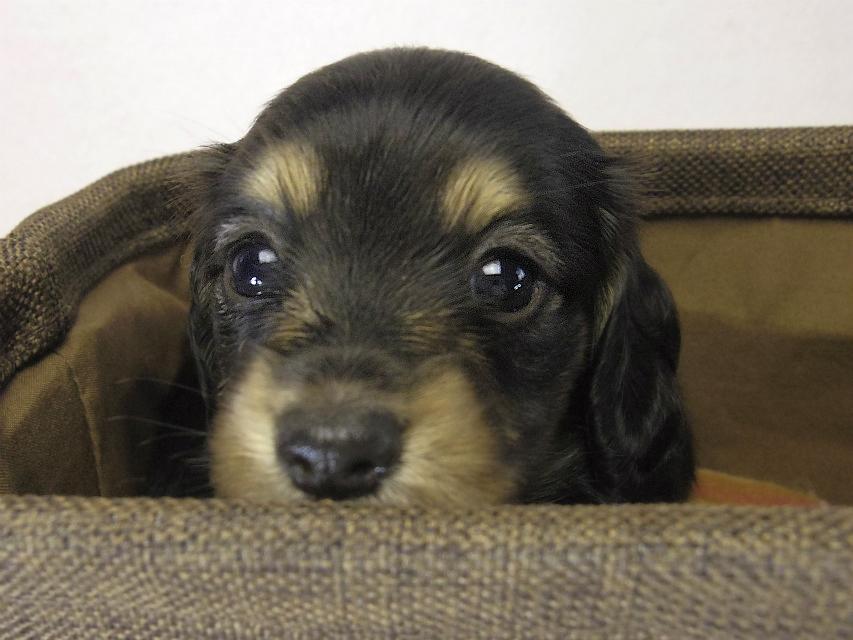 ミニチュアダックス 子犬 ブラクリ女の子