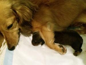 カニンヘン ダックスフンドのベルサスが出産しました シェーデットクリーム女の子