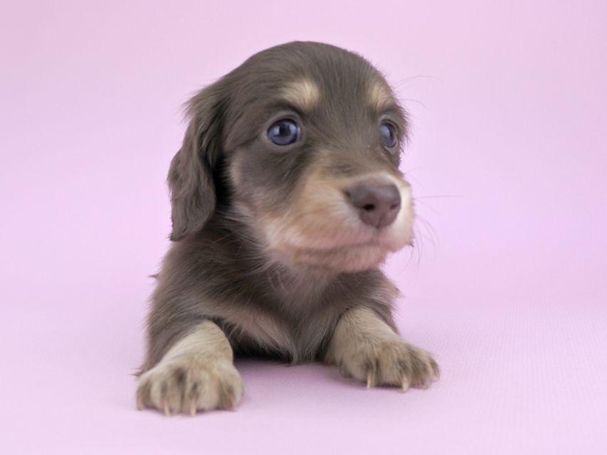 カニンヘンダックス グリム & 武蔵の子犬 チョコイエロー 男の子(1)