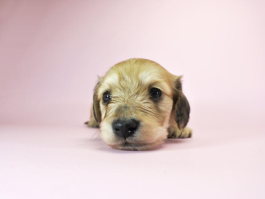 カニンヘンダックスフンド ロングヘアード エンジェル & たけるの子犬 シェーデットクリーム 女の子 お写真初登場