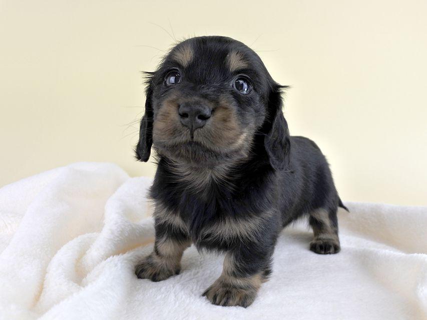 カニンヘンダックス リールー & ジャンの子犬 ブラックタン 女の子 お写真初登場