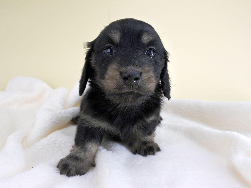 カニンヘンダックス リールー & ジャンの子犬 ブラックイエロー 女の子 お写真初登場