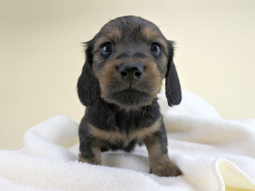 カニンヘンダックス 茶葉 & ジムダンディの子犬 レッド 女の子(2) お写真初登場