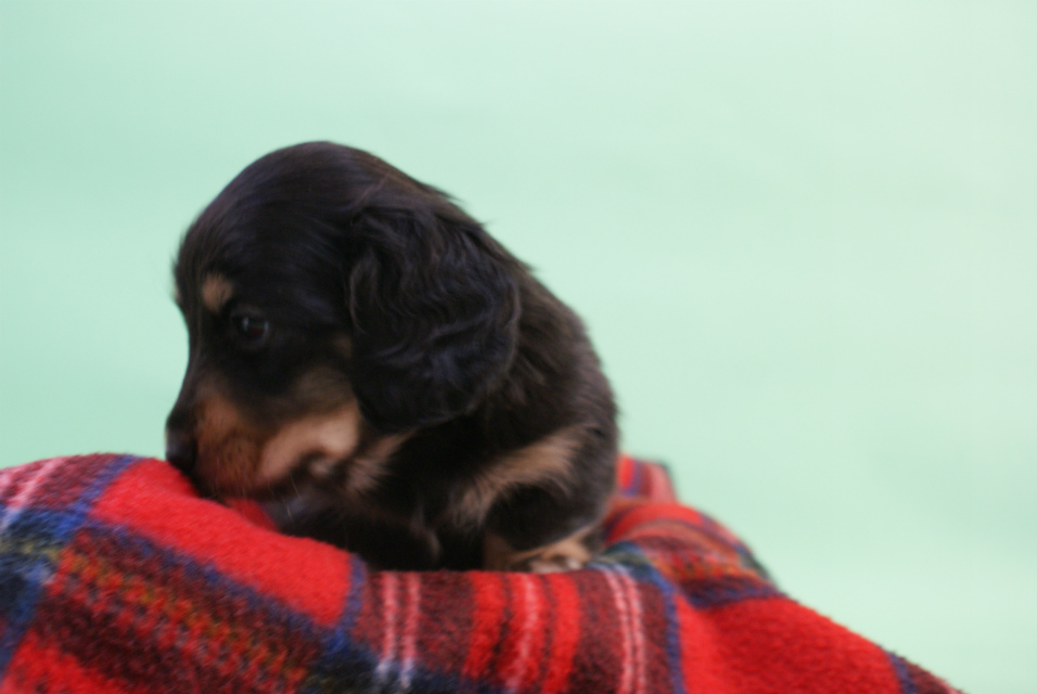 ミニチュアダックス 子犬 ブラック&クリーム 男の子 エドの赤ちゃん 11/14生まれ