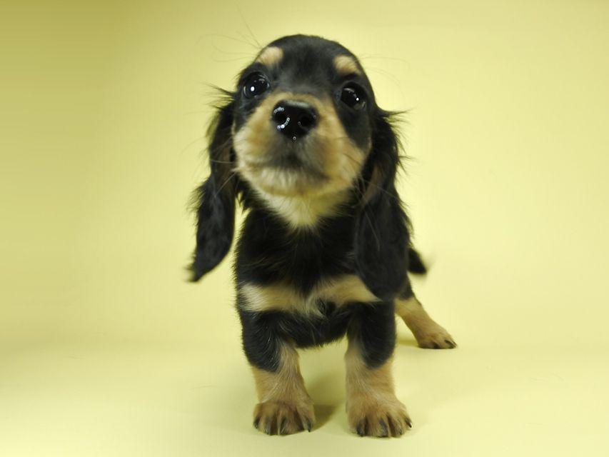 カニンヘンダックスフンド ロングヘアード パン.2 & オスカルの子犬 ブラッククリーム 女の子