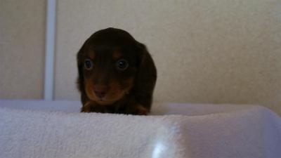 2011.12.22生まれ チョコ&タン 男の子(ご予約頂いております)
