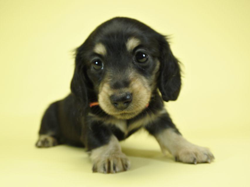 カニンヘンダックスフンド ロングヘアード 楓 & ジャンクレールダンディの子犬 ブラッククリーム 女の子