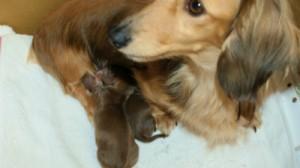 子犬 出産 カニンヘン ダックスフンドのシェリー