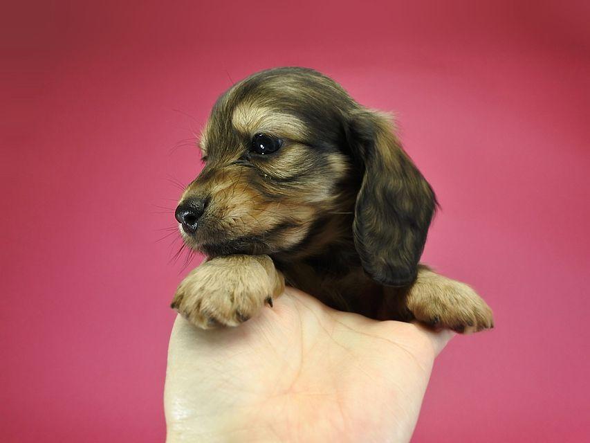 カニンヘンダックスフンド ロングヘアード ティアラ & オスカルの子犬 シェーデットクリーム 女の子(1)
