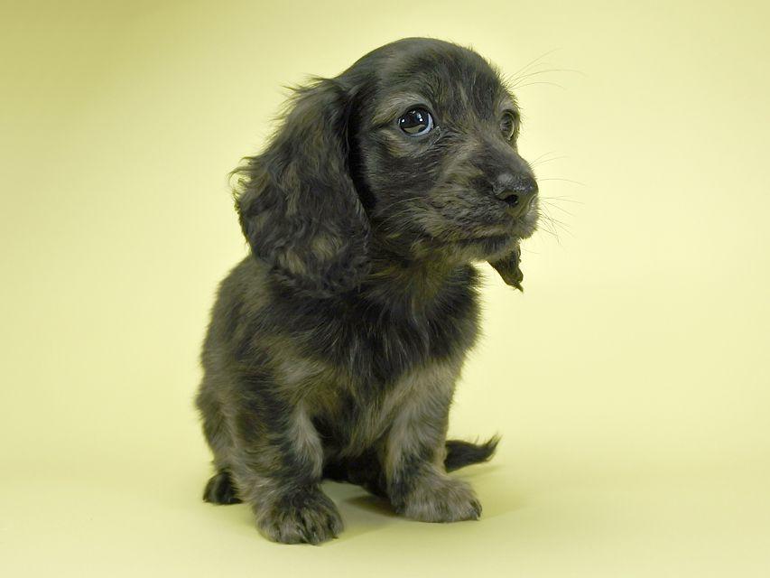 カニンヘンダックスフンド ロングヘアード プレ.yu & オスカルの子犬 クリームブリンドル 女の子