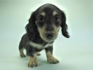 楓 & ジャンクレールダンディの子犬 ブラッククリーム 女の子