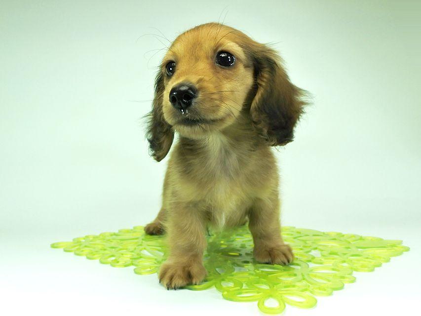 カニンヘンダックスフンド ロングヘアード スワン & たけるの子犬 レッド 男の子(1)