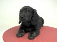 プレ.yu & オスカルの子犬 ブラッククリームブリンドル 男の子