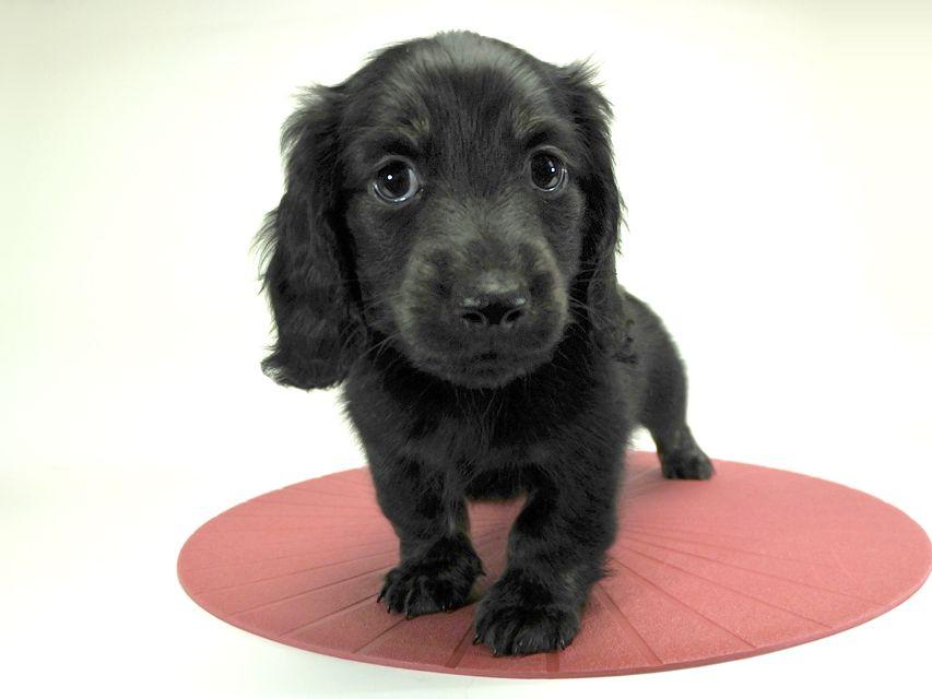 カニンヘンダックスフンド ロングヘアード プレ.yu & オスカルの子犬 ブラッククリームブリンドル 男の子