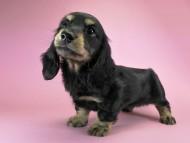 キュリ & ジムの子犬 ブラッククリーム 男の子