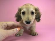 エンジェル & たけるの子犬 シェーデットクリーム 女の子