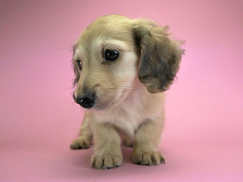 カニンヘンダックスフンド ロングヘアード エンジェル & たけるの子犬 シェーデットクリーム 女の子