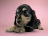 エリカ & ダルクの子犬 ブラッククリーム 女の子 お写真初登場