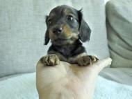 ダックスフンド カニンヘン ナツの子犬 シェーデットレッド 女の子(2)