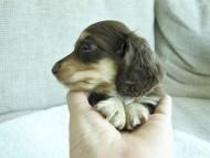 キキ.mh & ジャック.mhの子犬 チョコクリーム 男の子