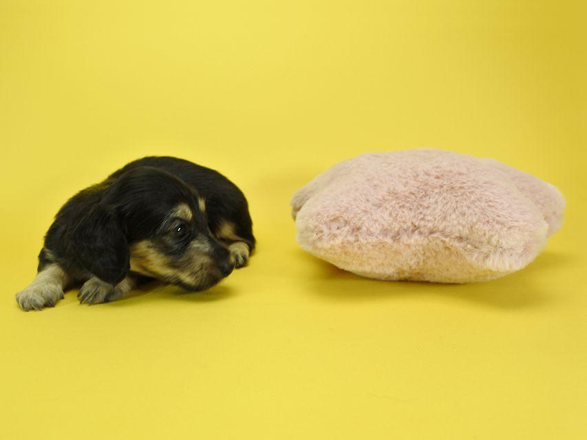 カニンヘンダックスフンド ルル.hb & スルガの子犬 ブラッククリーム 女の子