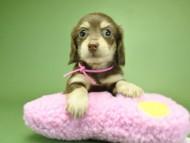 ノエル.hp & バロン君の子犬 チョコクリーム 男の子