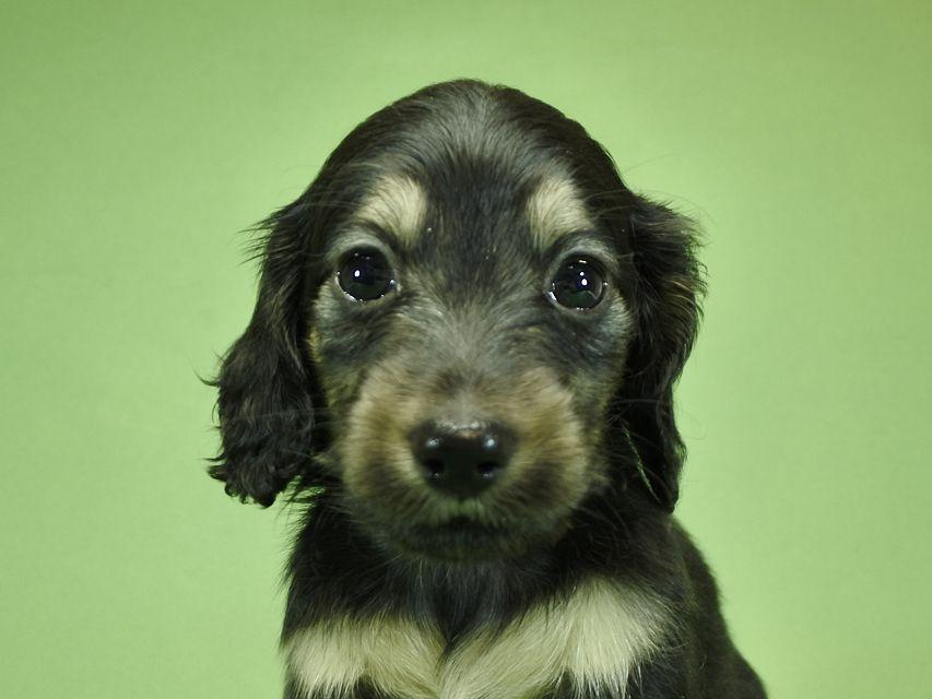 カニンヘンダックスフンド ルル.hb & スルガの子犬 ブラッククリーム男の子