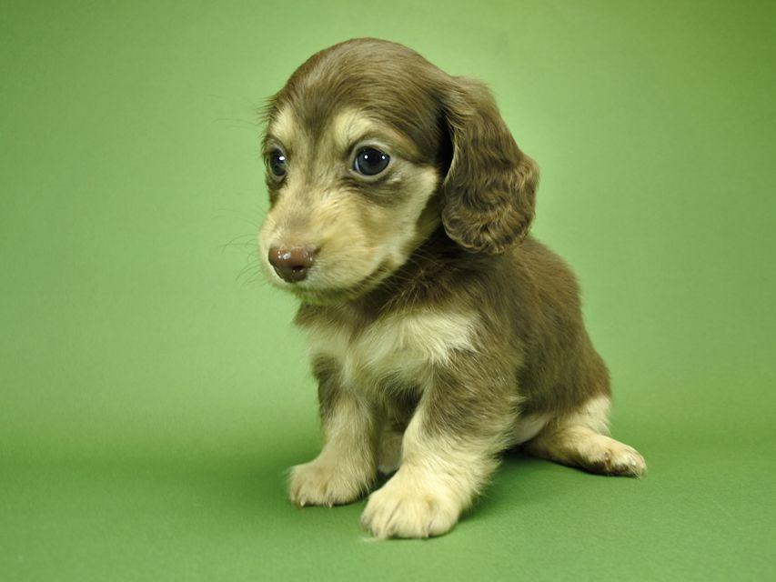 カニンヘンダックスフンド ルル.hb & スルガの子犬 チョコクリーム 女の子