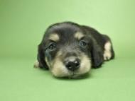 グリム & 武蔵の子犬 ブラッククリーム 男の子