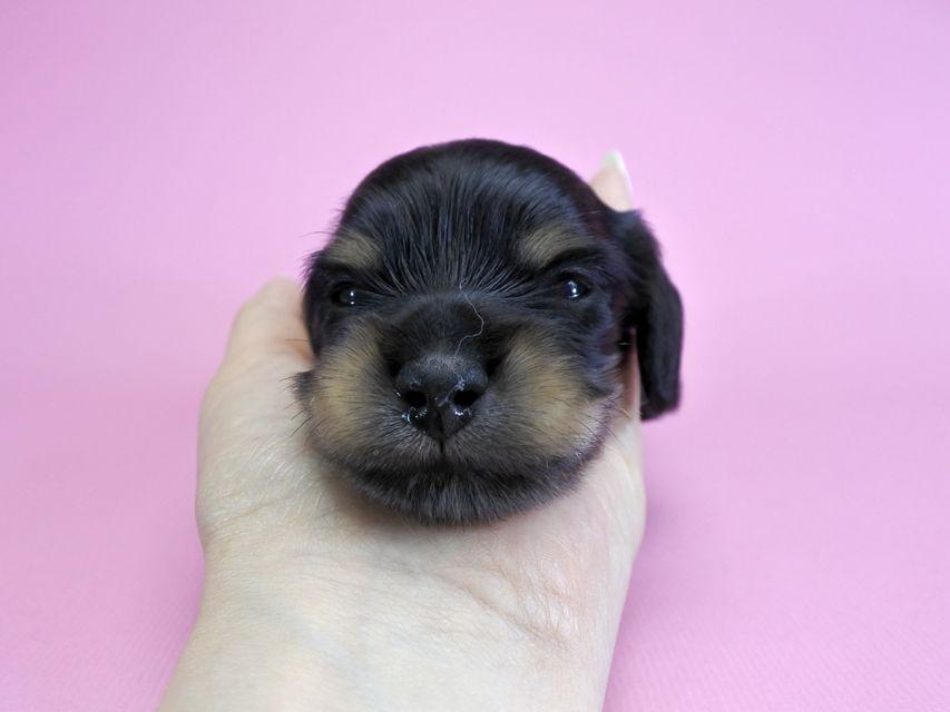 ダックスフンド カニンヘン クム.2 & オスカルの子犬 ブラッククリーム 男の子 お写真初登場