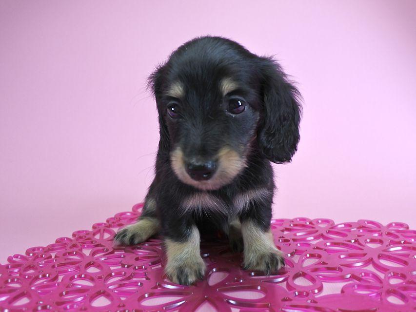 ダックスフンド カニンヘン グリム & 武蔵の子犬 ブラッククリーム 女の子