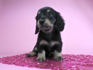 グリム & 武蔵の子犬 ブラッククリーム 女の子