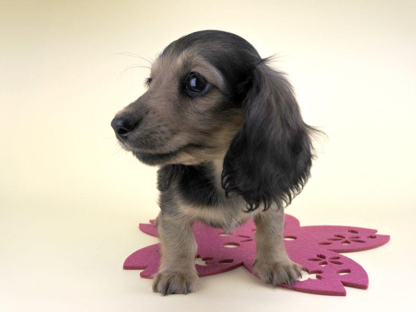 カニンヘンダックス シャーロット & ジムダンディの子犬 レディッシュイエロー 女の子(2) レアちゃん