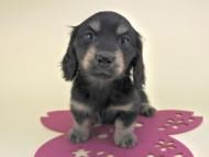 リールー & ジャンの子犬 ブラックイエロー 女の子