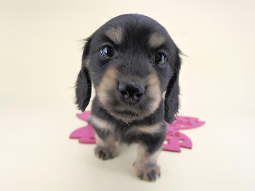カニンヘンダックス リールー & ジャンの子犬 ブラックイエロー 女の子
