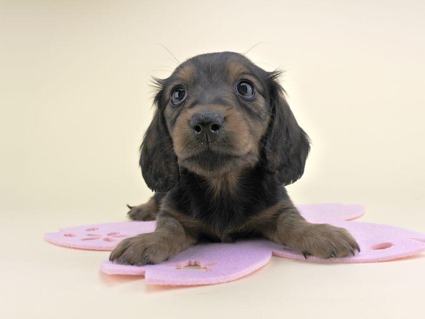 カニンヘンダックス 茶葉 & ジムダンディの子犬 レッド 女の子(1)