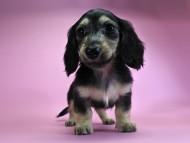 ルル.hb & スルガの子犬 ブラッククリーム 女の子