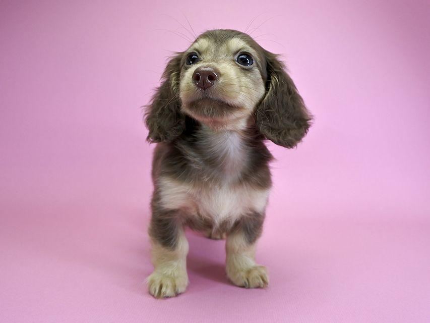 ダックスフンド カニンヘン ルル.hb & スルガの子犬 チョコクリーム 女の子