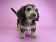 ルル.hb & スルガの子犬 チョコクリーム 女の子
